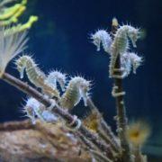 Tiny sea horses