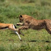 The cheetah hunts antelope