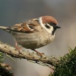 Interesting facts about sparrows