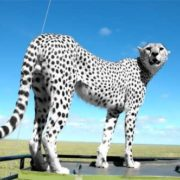 White cheetah