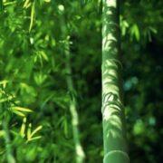 Stunning bamboo