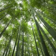 Beautiful bamboo