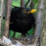 Blackbird – interesting bird