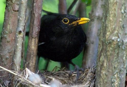 Blackbird – interesting bird