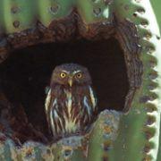 cactus ferruginous pygmy owl