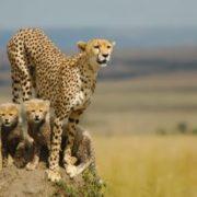 Charming cheetahs