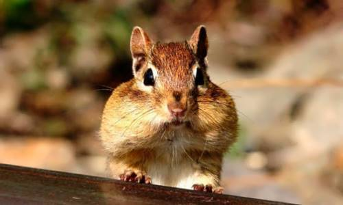 Chipmunk with a full mouth of food