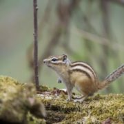 Magnificent chipmunk