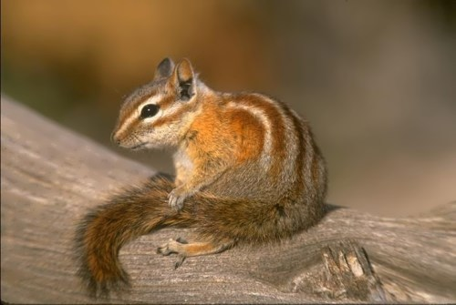 Chipmunk – cute rodent