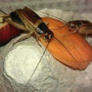 Crickets are having dinner