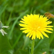 dandelion and bee