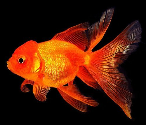 Goldfish – beautiful underwater creature