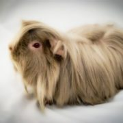 Long-haired guinea pig