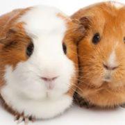 Wonderful guinea pigs