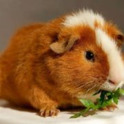 guinea pig is eating