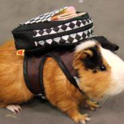 Amazing guinea pig