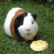 Wonderful guinea pig