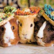 Lovely guinea pigs
