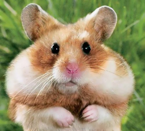 Awesome hamster