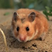 Gorgeous hamster