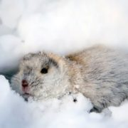 Lemming in snow