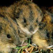 Cute little lemmings