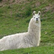 Stunning llama