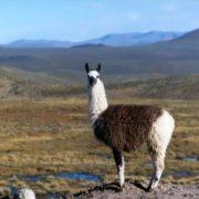 Attractive llama