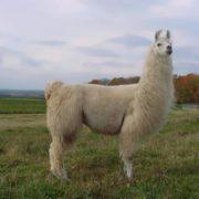 Beautiful llama