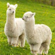 Charming llamas