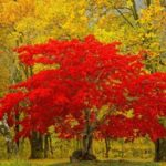 Maple – Spectacular Leaves and Tasty Syrup