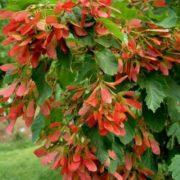 Lovely maple