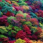 Colorful maples