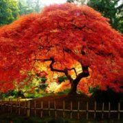 Cute maple