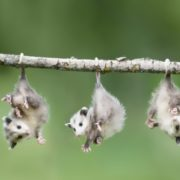 Little cute opossums