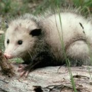 Lovely opossum