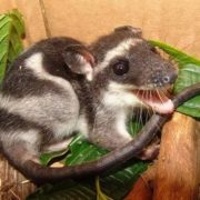 Amazing Possum