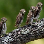 Magnificent owls
