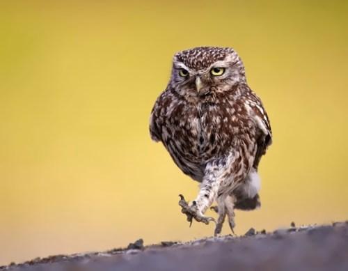 Owl - Nighttime Hunter