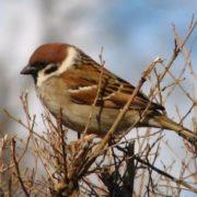 Attractive sparrow