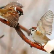 Sparrows are fighting