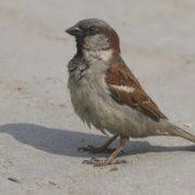 Beautiful sparrow