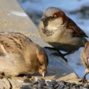 Charming sparrows
