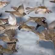 Attractive sparrows