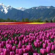 Attractive tulips