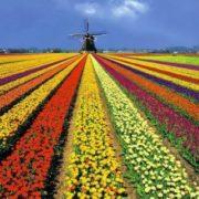 Picturesque tulip fields
