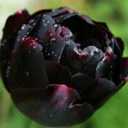 Magnificent tulip