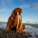 Walrus – Whale Horse
