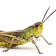 Amazing grasshopper