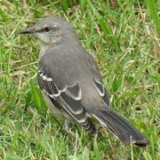 Amazing mockingbird